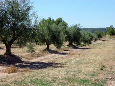 oliveres-1